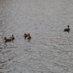 На реке Малая Кокшага можно увидеть диких уток.